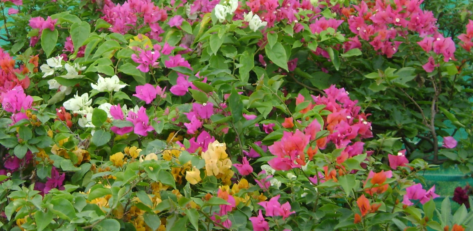 A picture of Bougainvillea in all colors