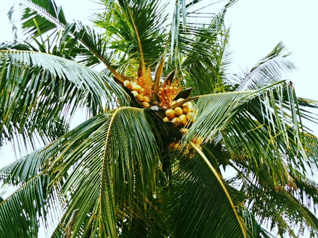 A picture of a coconut tree