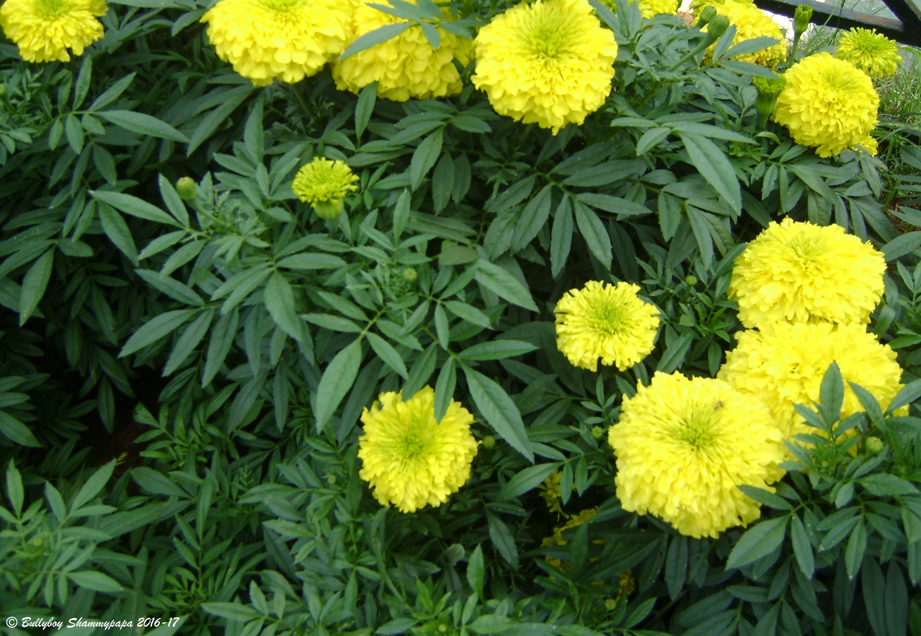 A picture of Marigold flowers