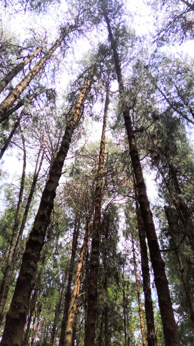 A view of the sky in the pine forest