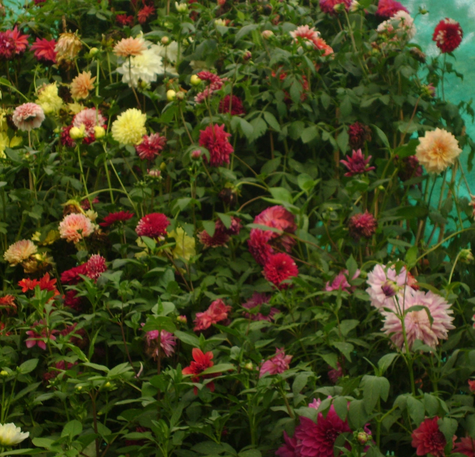 Birthday Bash - Happy Birthday to dear Grandfather - A picture of dahlias