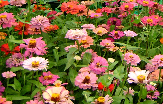 Pink or Flowers? - A picture of flowers in all shades of pink
