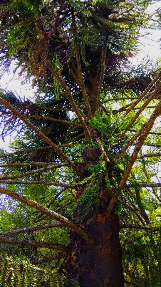 Structure - A shot of the structure of a Pine tree making it a Conifer