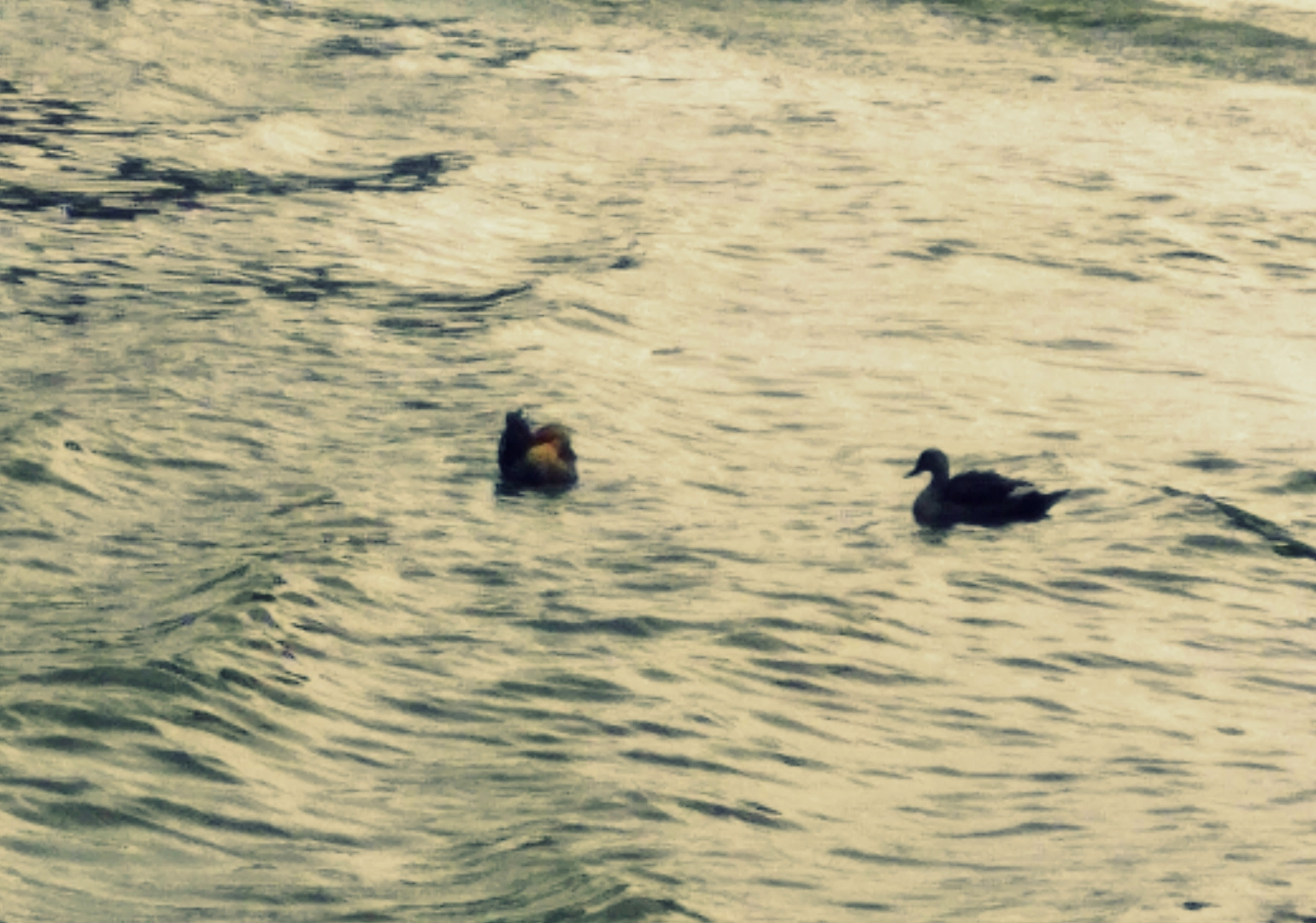Bird - Birds in Water - A picture of ducks in water