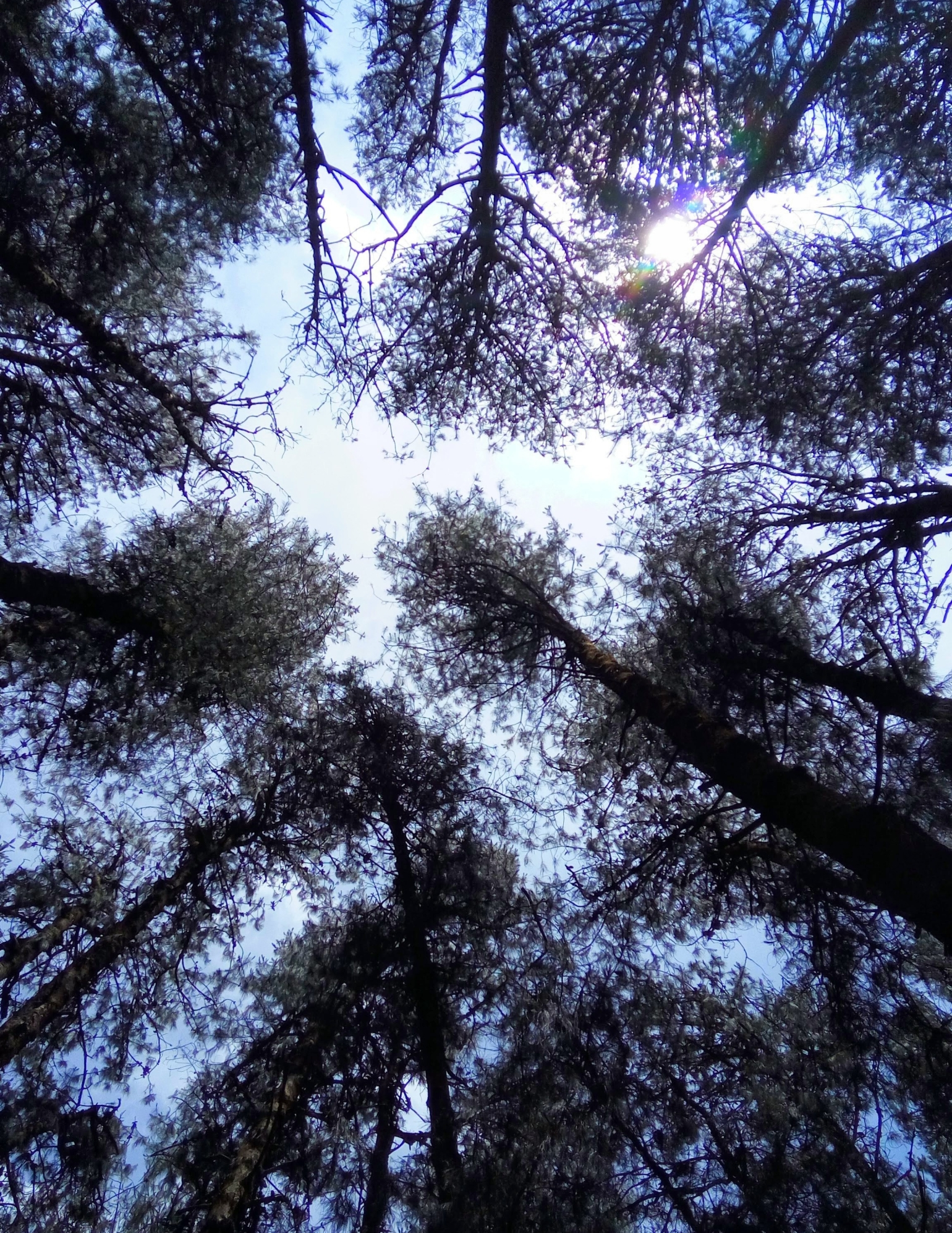 The Dusk of 2017 - Woody Mood - A view of the sky from the middle of a pine forest in Ooty