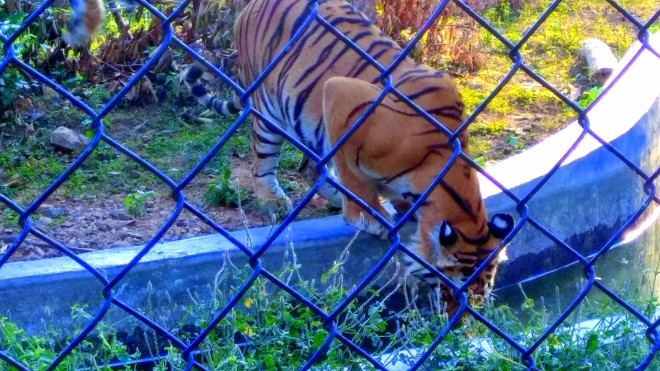 The Wilderness - A picture of a tiger drinking water inside a cage