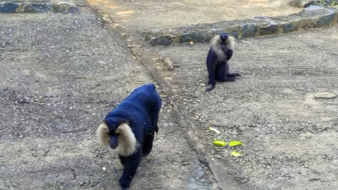 Who Let the Apes Out? - A picture of the two Monkeys after eating the banana