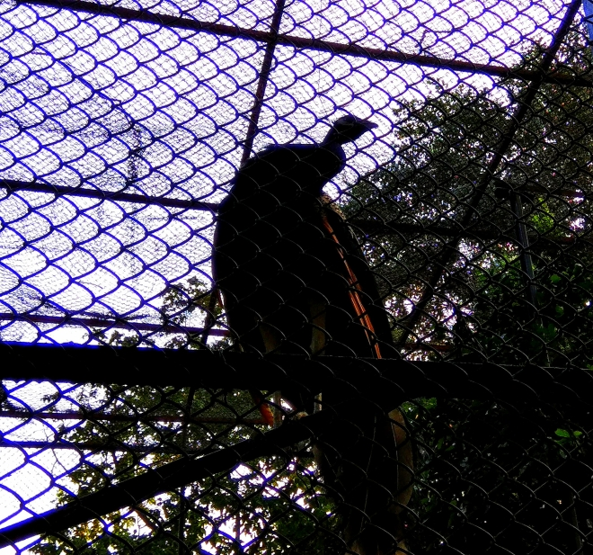 The Other Side of Light - A Silhouette of a Peacock in a cage