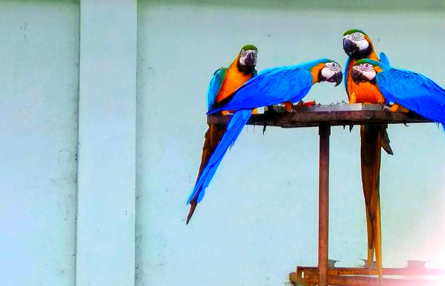 The Wilderness - A picture of Macaws having their food