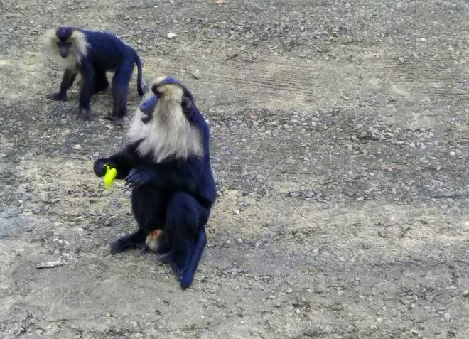 Who Let the Apes Out? - A picture of banana-eating Monkey