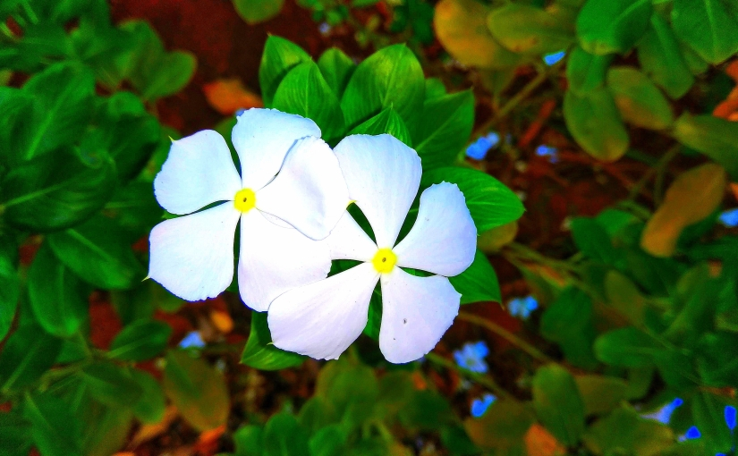 Beloved by All - A snapshot of white periwinkle flowers