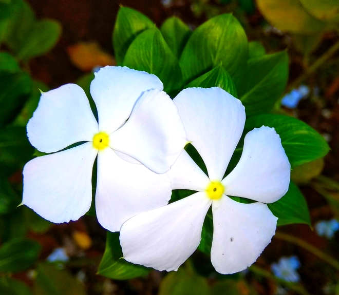 Beloved by All - A closeup shot of white periwinkle flowers