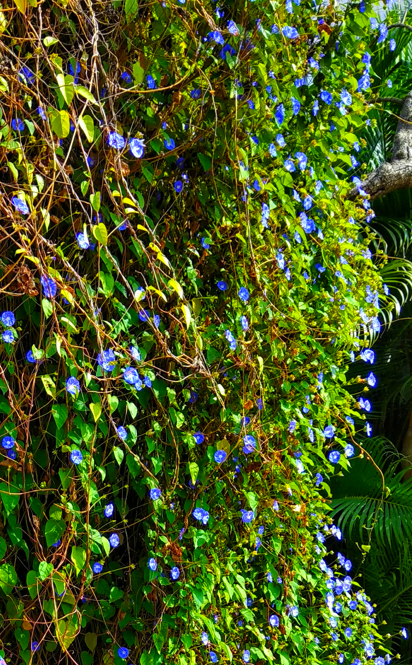 Birthday Bash - A Picture of Morning Glories