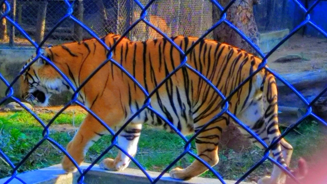 Behind Safety Lines - A view of a tiger inside a cage