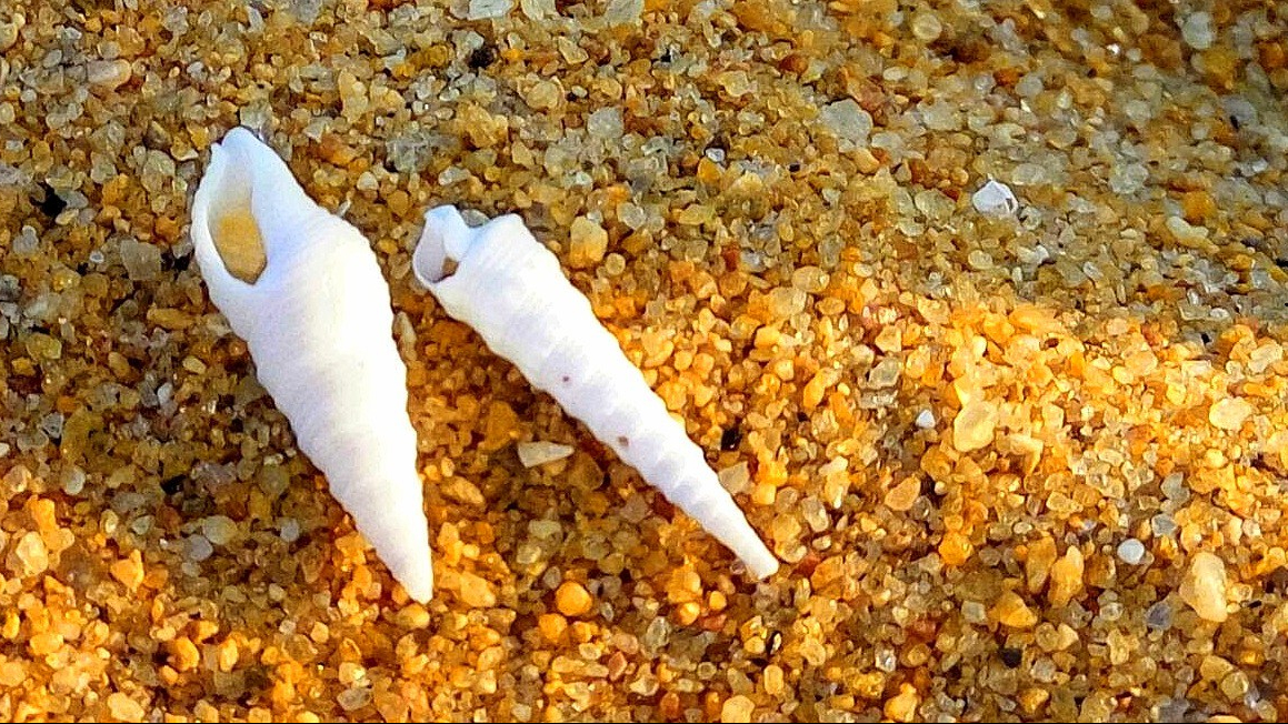 Twist or Turn? - A picture of Conches on the sands of a beach